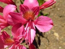 Amancay Rosado (Alstroemeria presliana) (7)