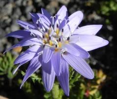 Perezia o Estrella de los Andes (Perezia pedicularidifolia) (3)